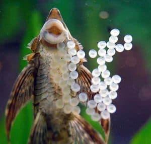 Male Royal Farlowella Catfish (Sturisoma panamense) guarding and fanning eggs