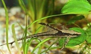 Royal Farlowella (Sturisoma panamense) – Detailed Guide Care, Diet, and Breeding