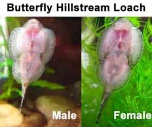sexing Butterfly Hillstream Loach