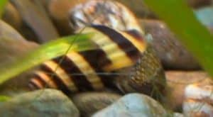 Assassin snail eats Theodoxus snails – Detailed Guide Care, Diet, and Breeding