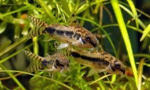 Best Cleaners For Nano And Small Aquariums - Corydoras Catfish (Corydoras habrosus)