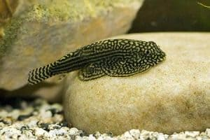 Best Cleaners For Nano And Small Aquariums - Stiphodon spp.