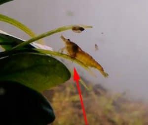 Holtodrilus Truncates - Parasites in Shrimp Keeping Hobby