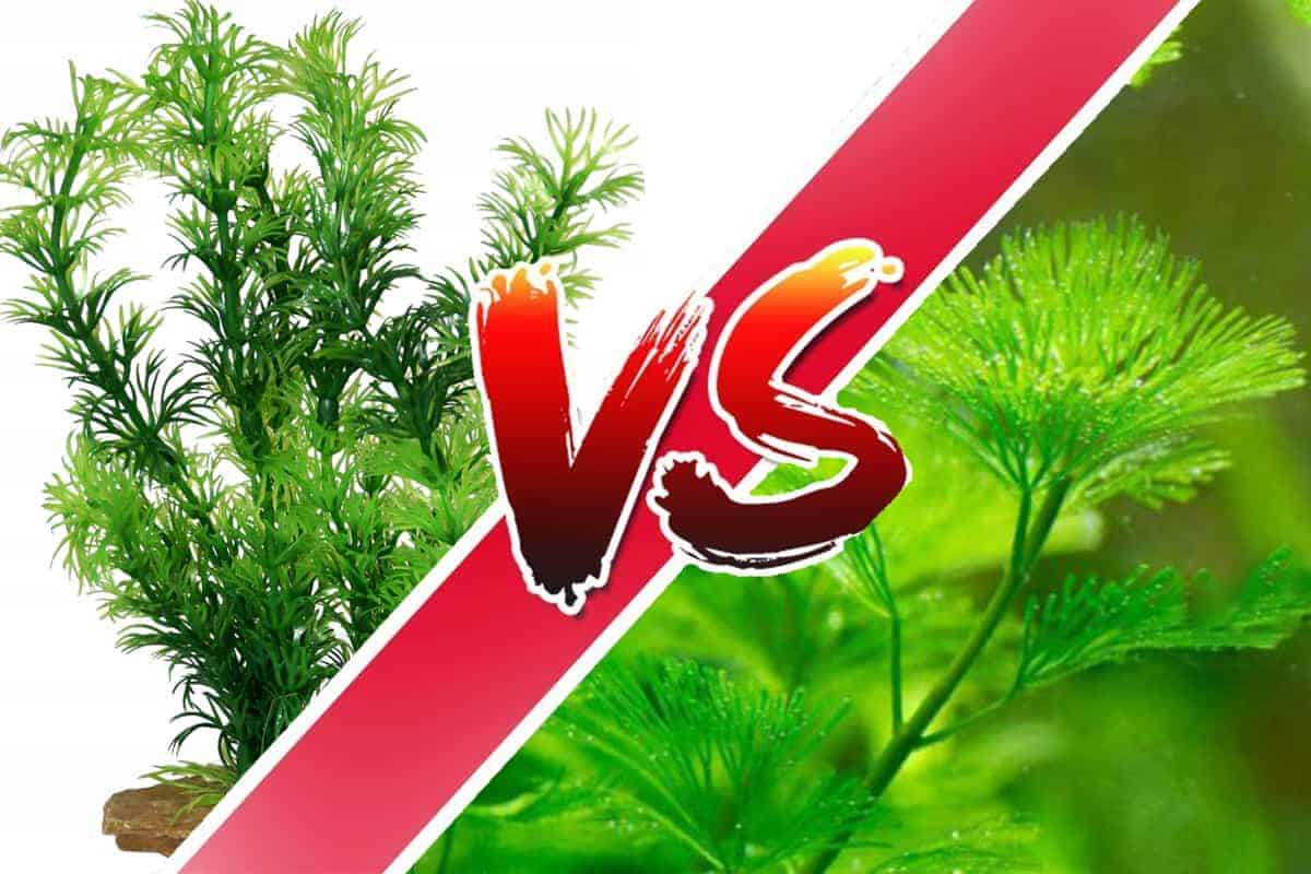 Live Plants and Fake Plants (Pros and Cons) Cabomba