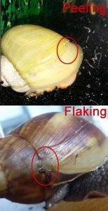 Snails and Shell Problems. Causes and How to Fix Peeling and Flaking Shell