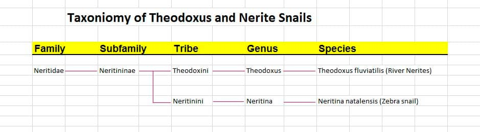 Taxoniomy of Theodoxus and Nerite Snails