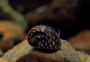 Theodoxus snails – Detailed Guide Care, Diet, and Breeding (Theodoxus fluviatilis (River Nerites)