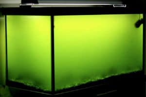 Green Water Algae Profile and How to Remove from Aquarium