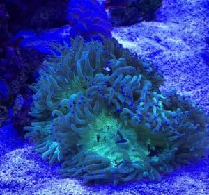 How to Care for Elegance Coral (Catalaphyllia jardinei)