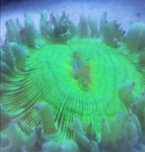 How to Care for Elegance Coral (Catalaphyllia jardinei) - Elegance Coral Syndrome