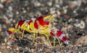 Pistol Shrimp – Detailed Guide Care, Diet, and Breeding