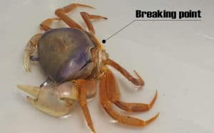 Crabs and Molting Process - breaking point
