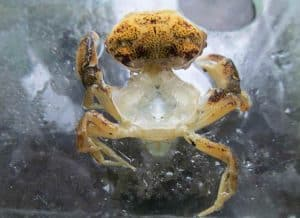 Crabs and Molting Process - open carapace