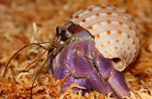 How long do Hermit Crabs live. Lifespan Life expectancy - Coenobita Purpureus
