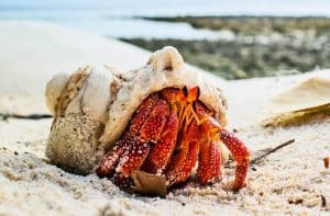 How long do Hermit Crabs live. Lifespan Life expectancy - Coenobita perlatus