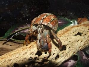How long do Hermit Crabs live. Lifespan Life expectancy pinterest- Coenobita Rugosus
