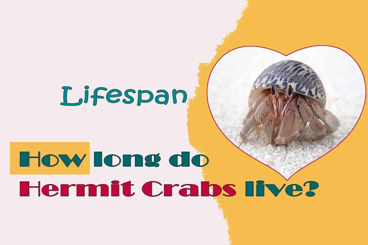 How long do Hermit Crabs live. Lifespan Life expectancy