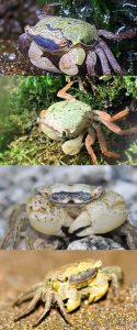 Marble Crab (Metasesarma obesum) – Detailed Guide Care, Diet, and Breeding description types