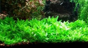 Staurogyne Repens Care Guide – Planting, Growing, and Propagation in aquarium
