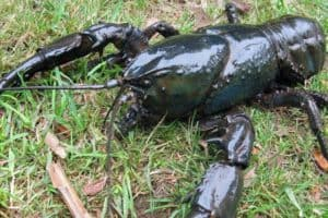 Tasmanian Crayfish Profile. The largest in the world. Astacopsis gouldi