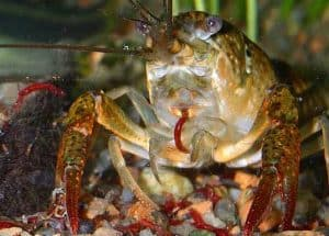 What Do Crayfish Eat - bloodworms