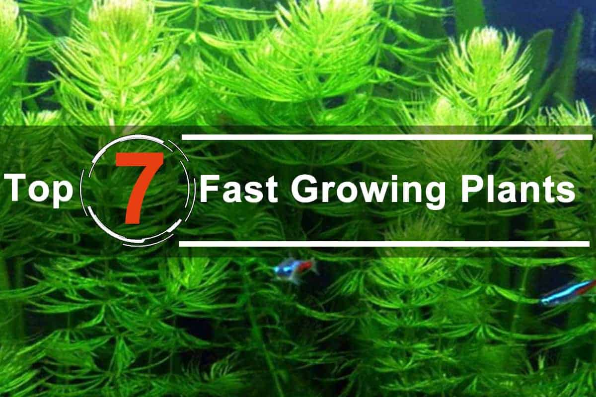 7 Fast Growing Live Plants in the Tank
