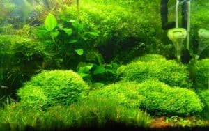 Crystalwort Care Guide – Planting, Growing, and Propagation and CO2
