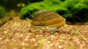 Freshwater Clams Care (Corbicula species) in aquarium