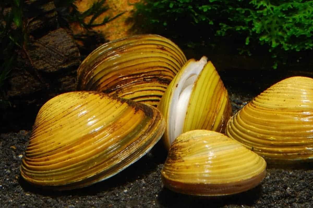 Freshwater Clams Care (Corbicula species)