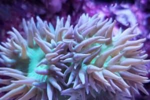 How to Care for Duncan Corals (Duncanopsammia axifuga)