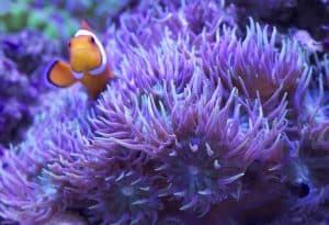 How to Care for Duncan Corals (Duncanopsammia axifuga) hosting clowns