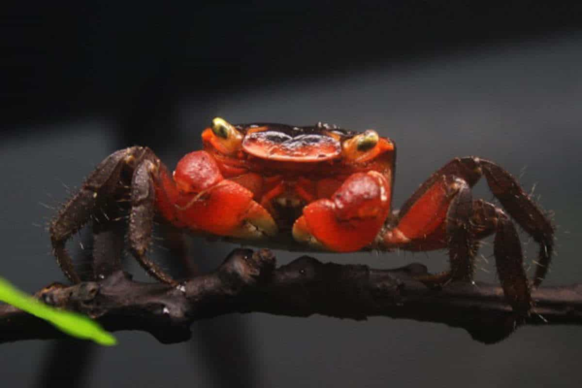 Red Apple Crab (Metasesarma aubryi) – Detailed Guide Care, Diet, and Breeding