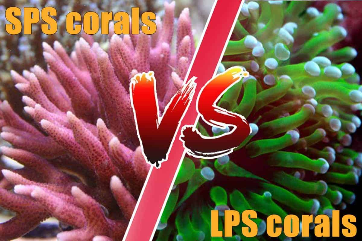 What Are LPS and SPS Corals