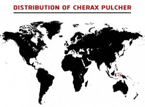 Cherax pulcher – Detailed Guide Care, Diet, and Breeding - location