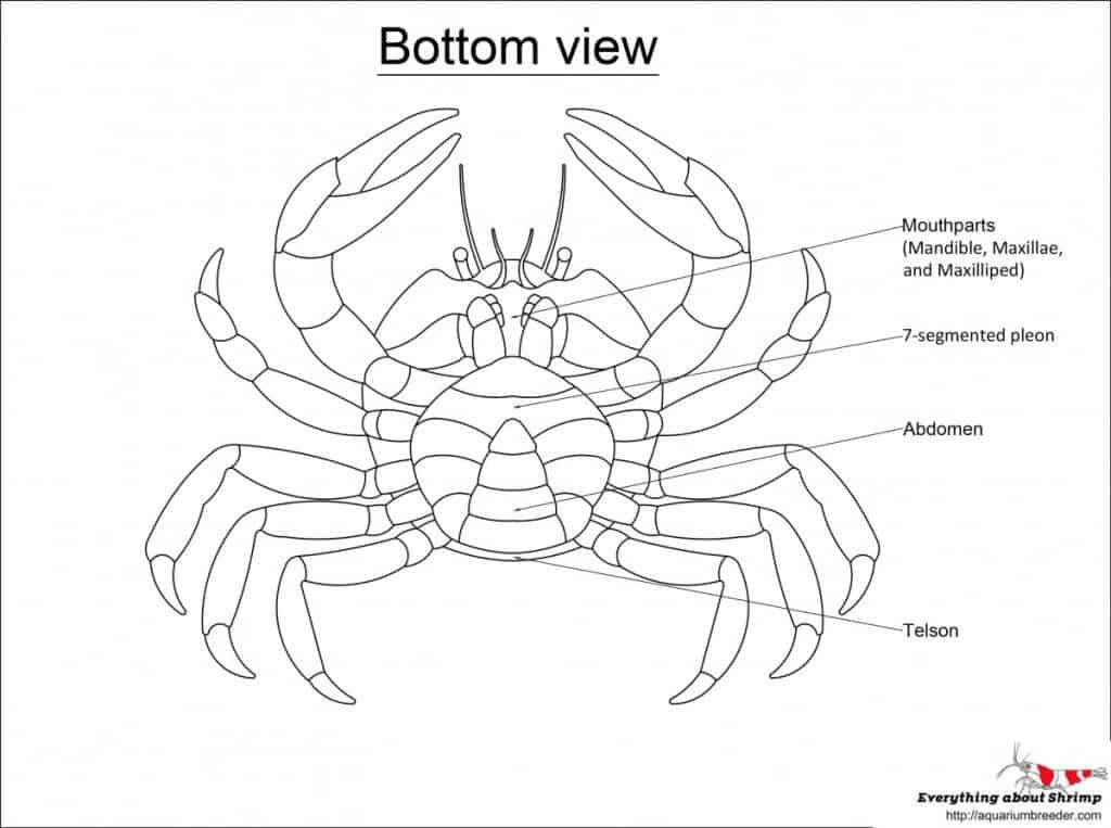 Crab External Anatomy - bottom view