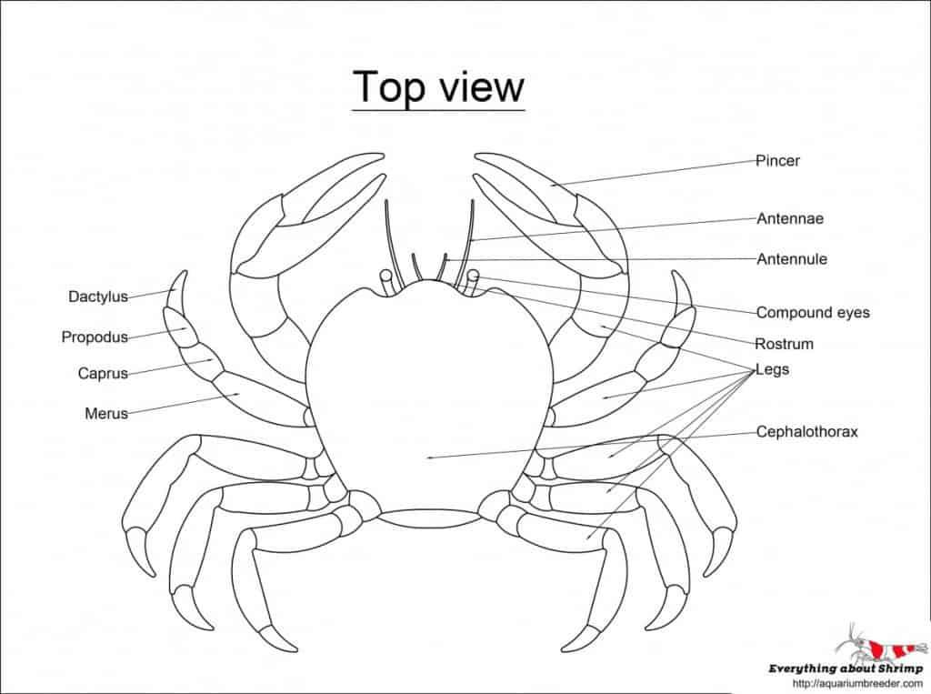 Crab External Anatomy - top view