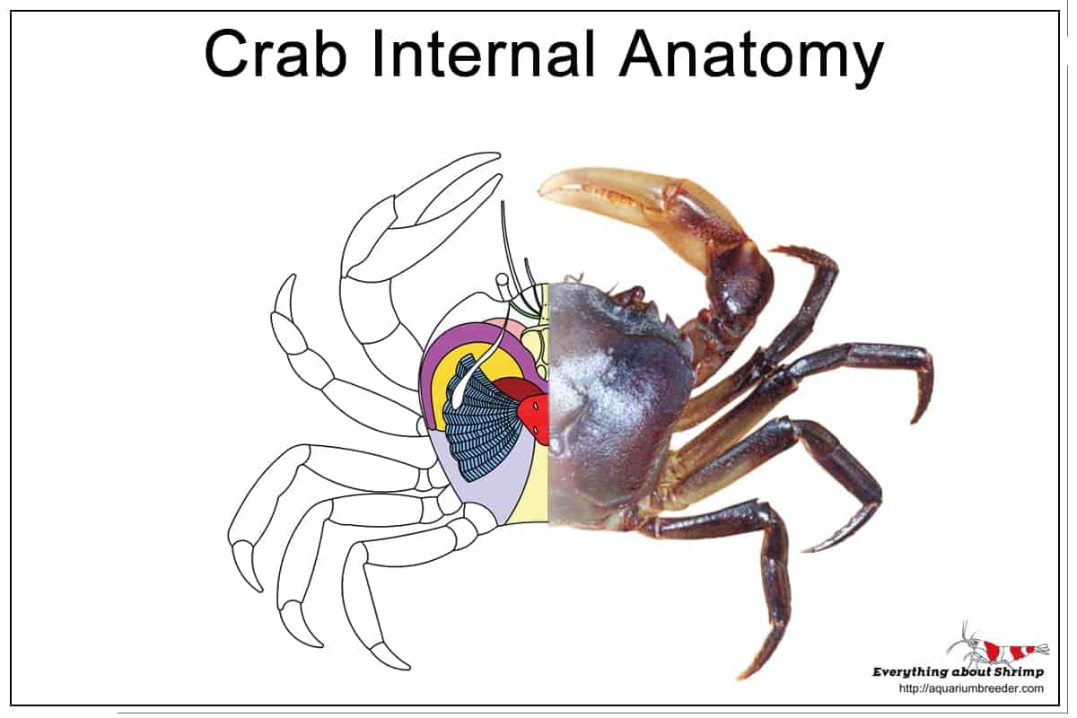 Crab Internal Anatomy