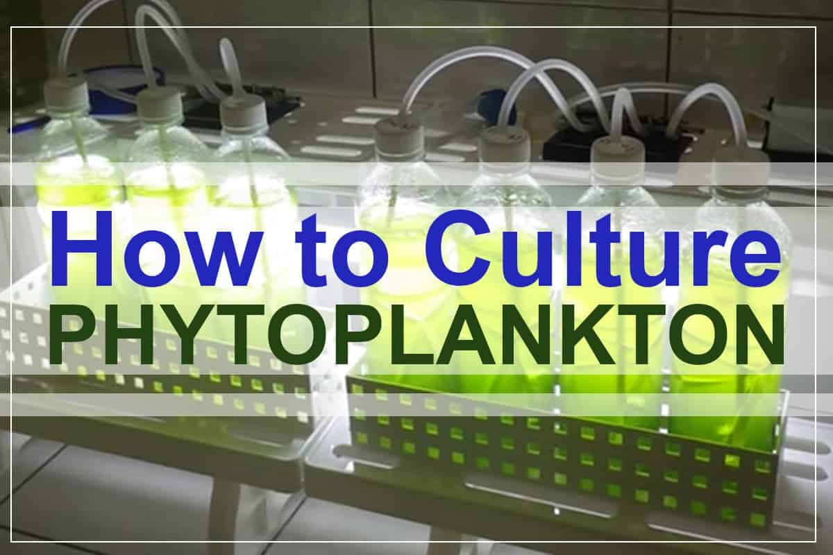 How to Culture Phytoplankton