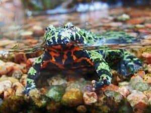 Paludarium Animals - Bombina orientalis