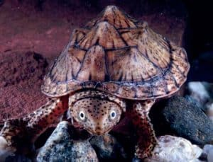 Paludarium Animals -Sternotherus minor