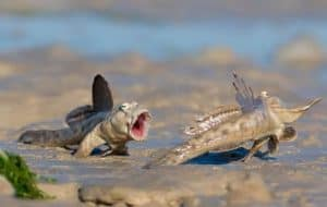 Paludarium Animals - the Mudskipper (amphibious gobies)