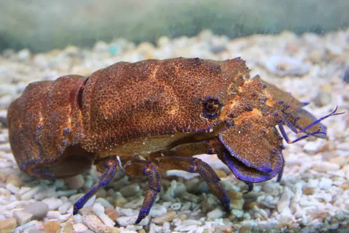Slipper Lobsters – Detailed Guide Care, Diet, and Breeding