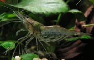Whisker Shrimp – Detailed Guide Care, Diet, and Breeding - Macrobrachium Lanchesteri on the driftwood