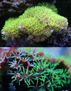 10 Best Corals for a Nano Reef Tank - Starbust Polyp (Briareum sp.)