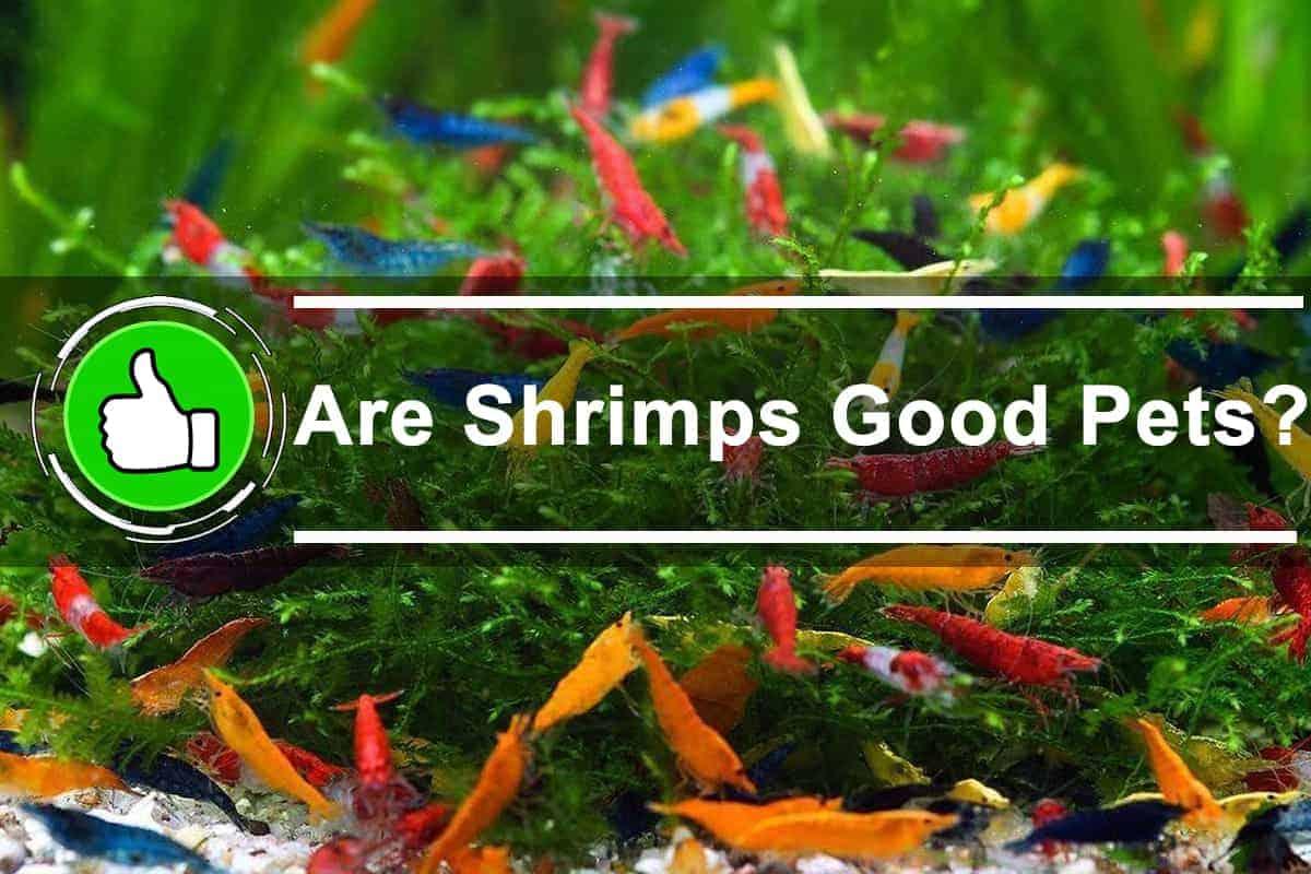 Are Shrimps Good Pets