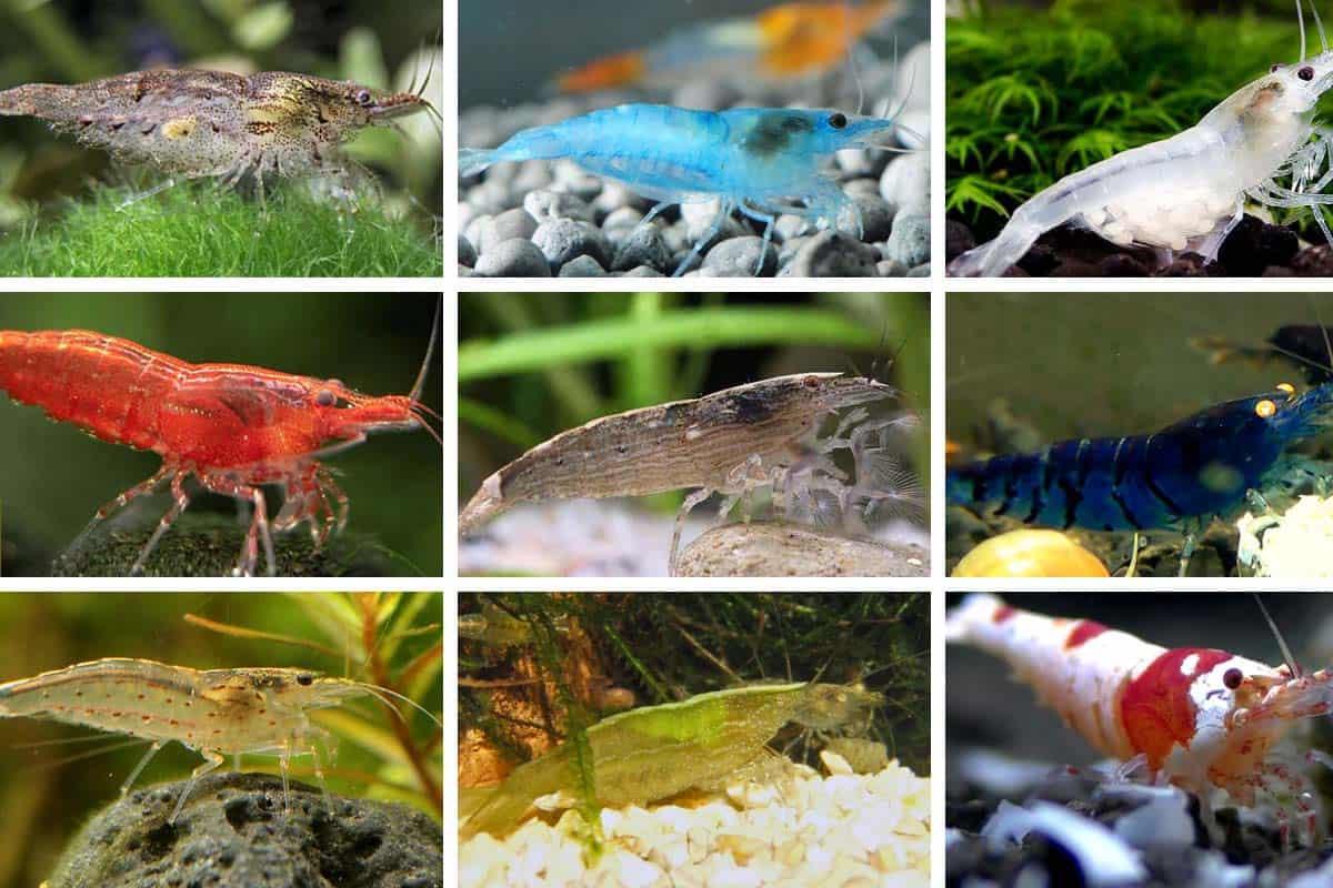 Crossbreeding Can You Mix Different Color Shrimp
