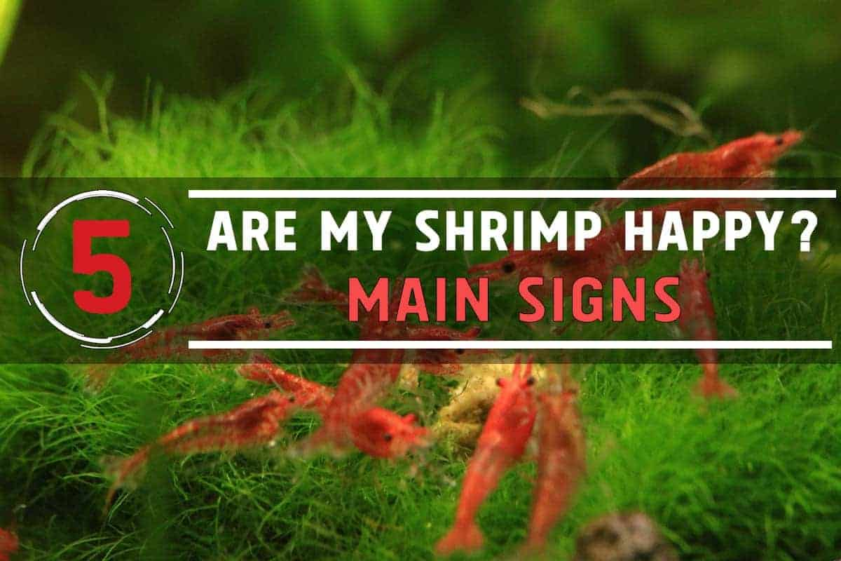 How Do I Know If My Shrimp are Happy? 5 main signs