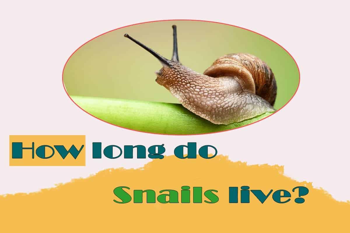 How Long do Aquarium and Land Snails Live. Lifespan Life expectancy