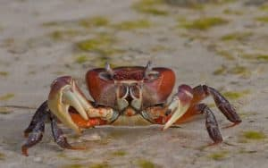Thai Devil Crab (Cardisoma carnifex) – Detailed Guide Care, Diet, and Breeding profile