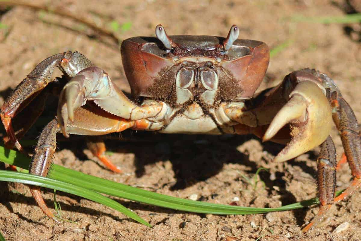 Thai Devil Crab (Cardisoma carnifex) – Detailed Guide Care, Diet, and Breeding